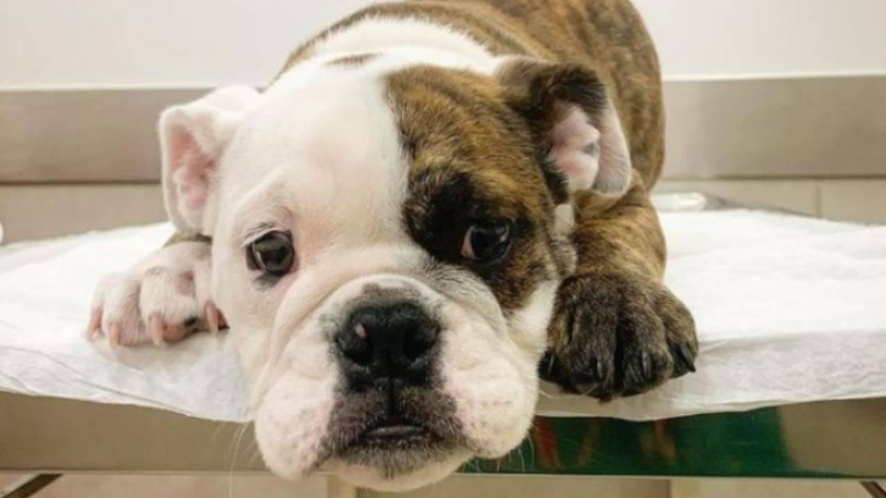 Vétérinaire distrait le chien pour lui faire vacciner - VIDEO