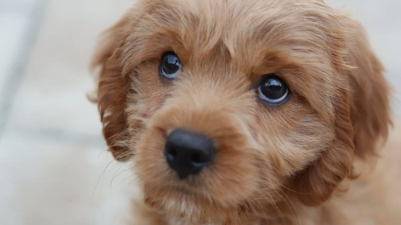 Labyrinthite chez les chiens: causes, symptômes et comment traiter cette maladie