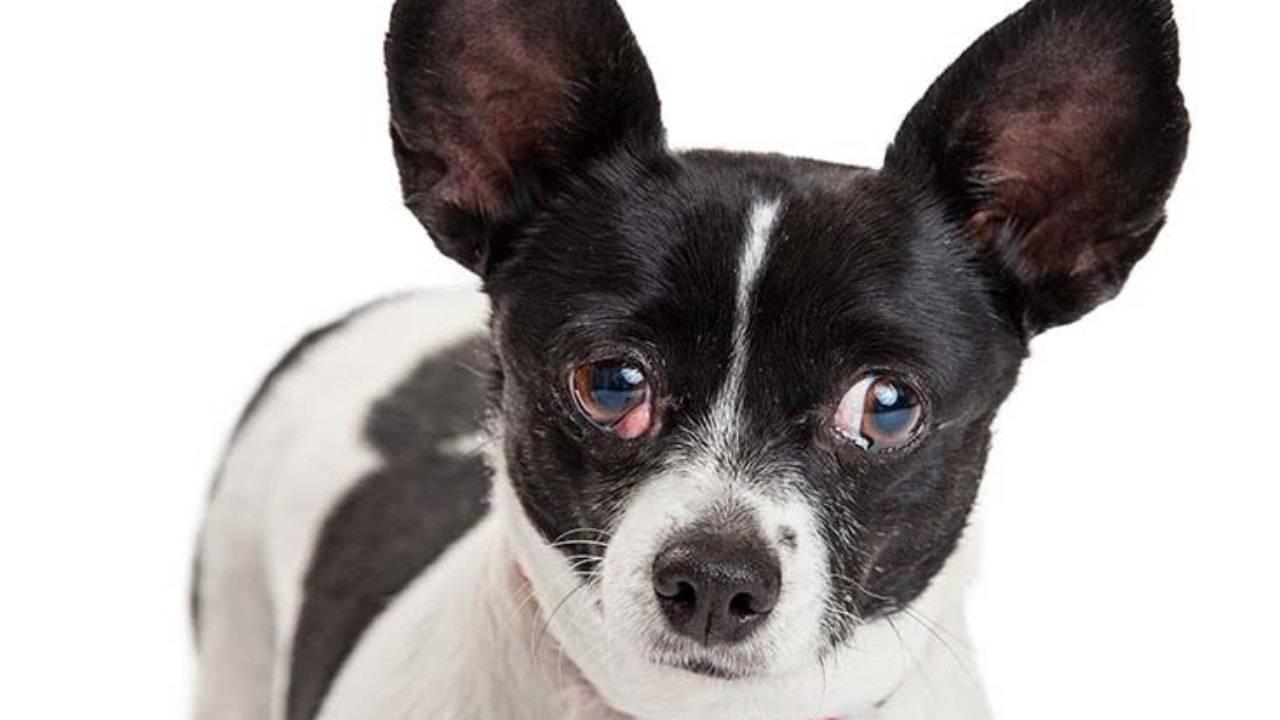 Sty chez le chien: qu'est-ce que c'est et quels sont les traitements à adopter