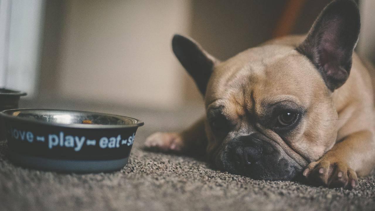 Nourrir les chiens atteints de colite: comment aider Le chien grâce à la nourriture