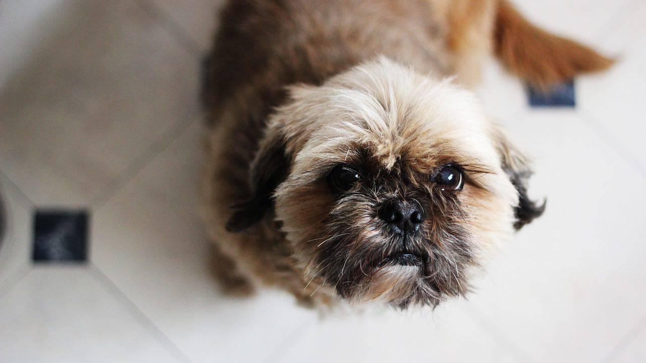 Les chiens peuvent-ils manger de l'amatriciana? Risques et avantages pour Le chien