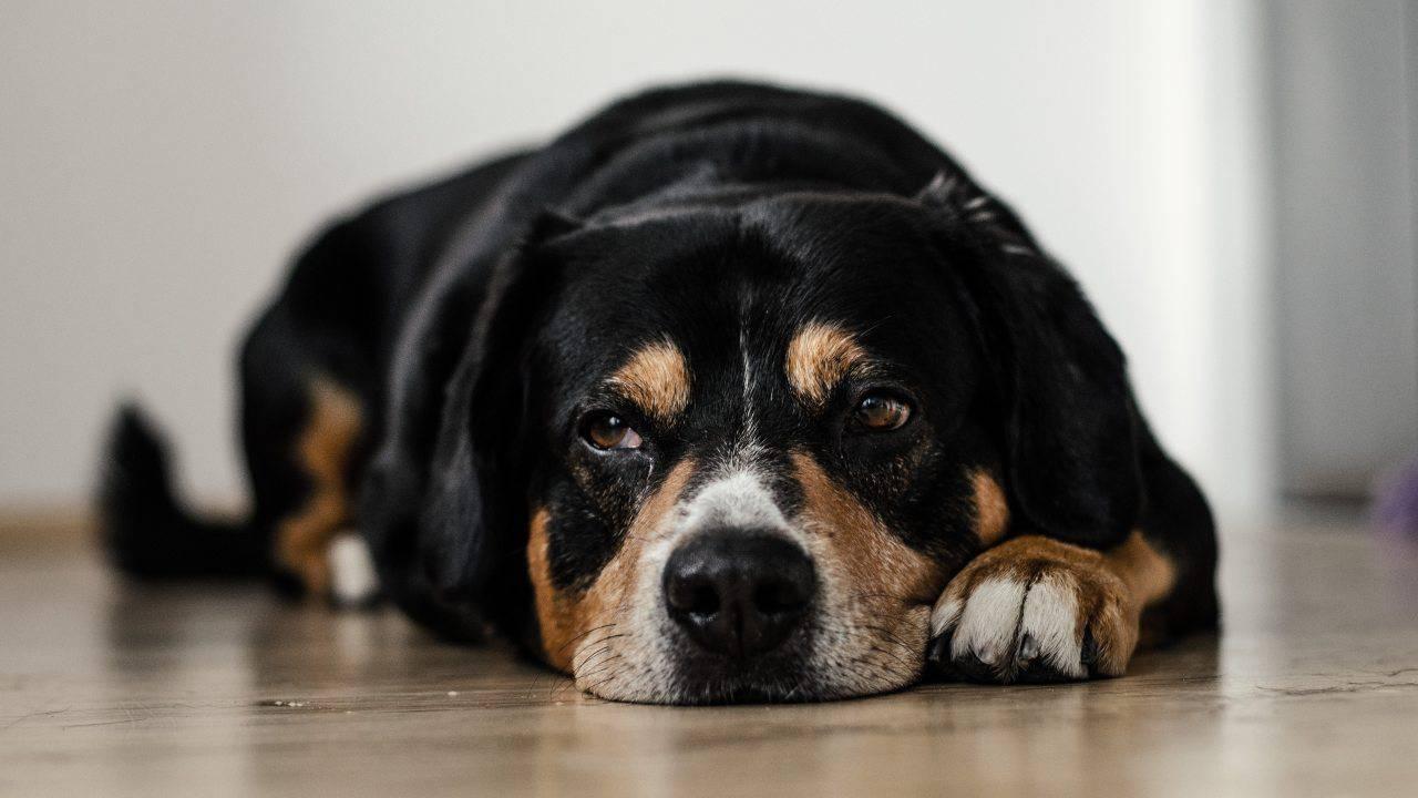 Nutrition pour le chien atteint de cystite: quels aliments manger et lesquels éviter