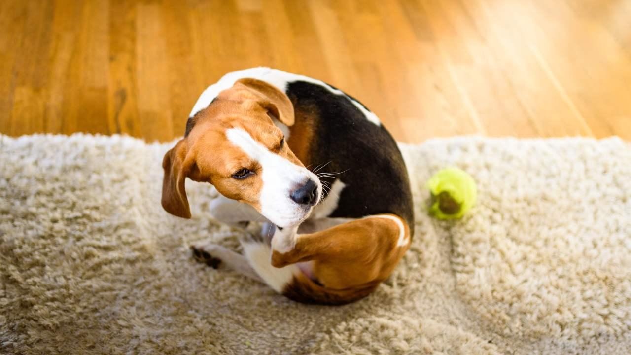Symptômes d'allergie aux aliments pour chiens: à quoi faire attention