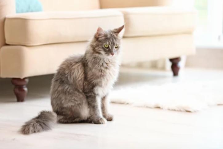 Les races de chats parfaites pour tenir compagnie dans un appartement